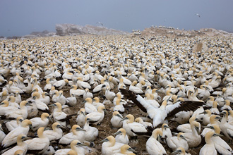 CAPE GANNETS, SOUTH AFRICA